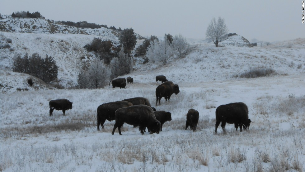 Bison often appear docile and calm but are dangerous wild animals, says Naylor.