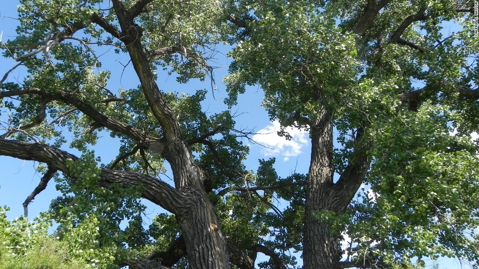 The cottonwood trees around Elkhorn Ranch date from the time Roosevelt lived in the area that is now part of the park.