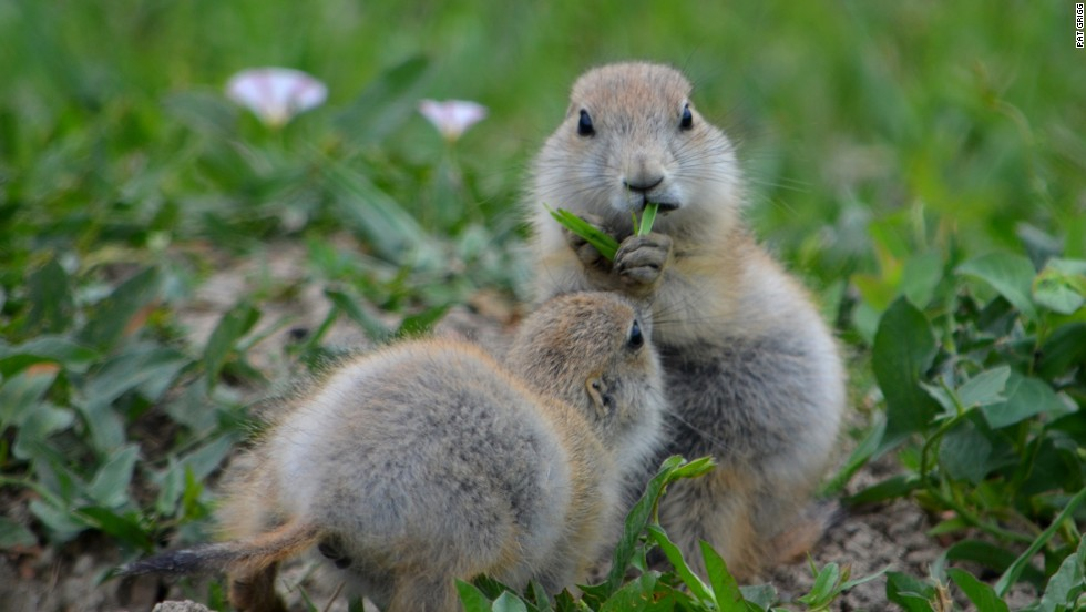 The prairie dog town in the South Unit is a great place to view wildlife, says Naylor.