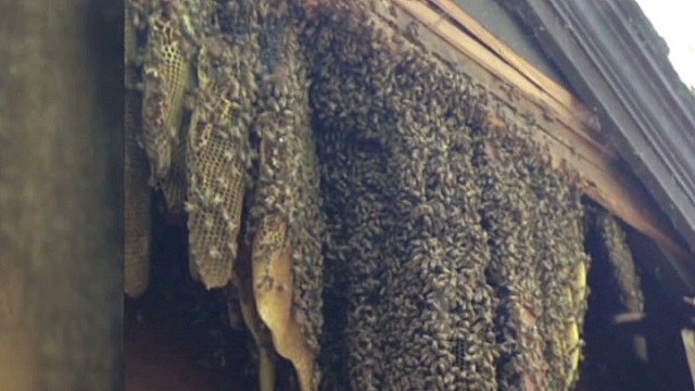 60,000 honeybees invade home