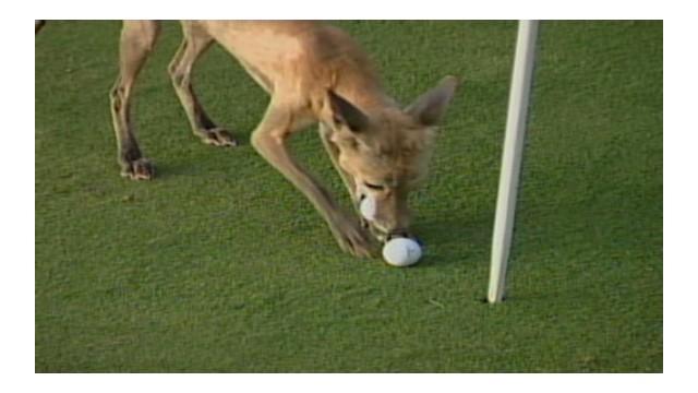 Fox steals golf balls from backyard