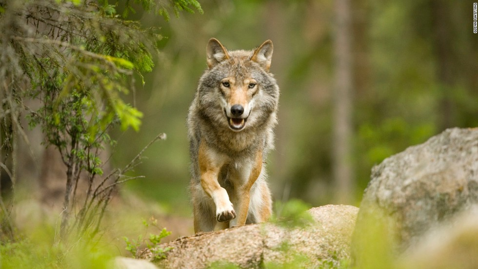 Don't fret, the forest's resident wolves are shy, the lodge's owner says.