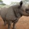 rhinoceros horn africa