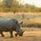 rhino south africa Edeni Game Reserve