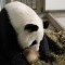 animals zoo atlanta panda mom lun lun