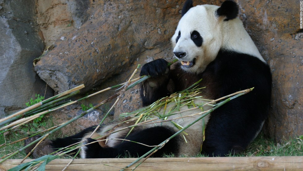 "If you can't wait until the fall, when the babies are expected to go on exhibit, you can still enjoy the sight of giant pandas at <a href=""http://www.zooatlanta.org/"" target=""_blank"">Zoo Atlanta</a>. The twins' father, Yang Yang, shown here, and their older brothers, Xi Lan, 4, and Po, 2, are on exhibit at the zoo."