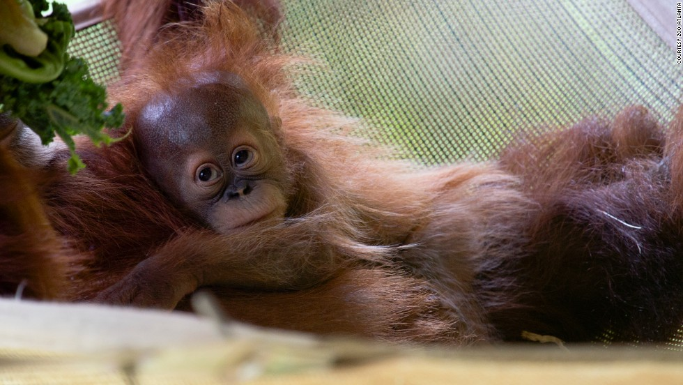If you're lucky, you might also spot Pongo, a Sumatran orangutan born on January 10 via cesarean section. First-time mom Blaze initially needed round-the-clock help from zoo staff and volunteer nurses from the local (human) children's hospital to learn to care for Pongo. Mother and son have been living together full-time since late March.