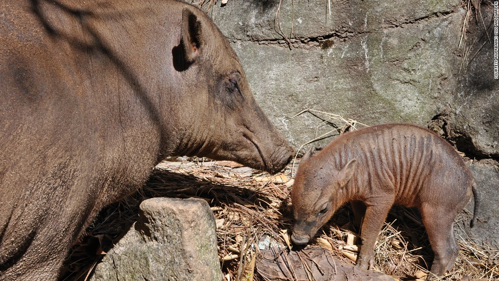 "The baby babirusa born in March to first-time parents Wilma and Bertello was the first of its species to be born at Riverbanks Zoo and Garden in Columbia, South Carolina. ""Babirusa"" is Malaysian for ""deer-pig."" These swine run swiftly like deer and are also known to be good swimmers."