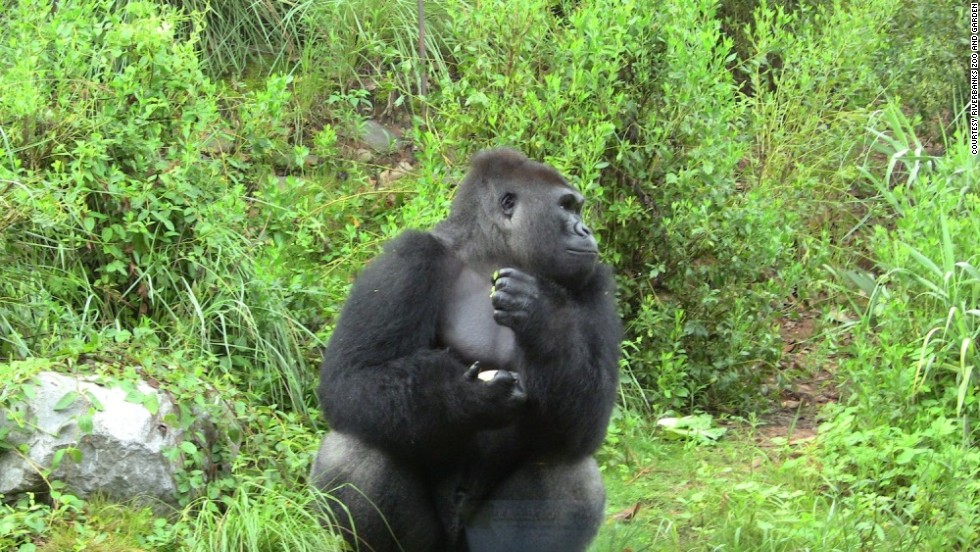 "Ajari the gorilla, age 12, was transferred to <a href=""http://www.riverbanks.org"" target=""_blank"">Riverbanks Zoo and Garden</a> in Columbia, South Carolina, earlier this year to join Chaka, 28, and Mike, 21. He's a western lowland gorilla who was born at the San Diego Zoo and had been living at the zoo in Knoxville, Tennessee. These gorillas usually live in packs of five to 30 individuals in the tropical rainforests of West Africa."