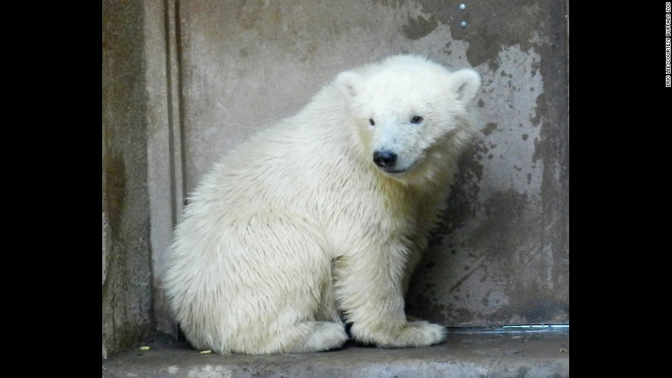 "After an adult female polar bear was shot in Alaska in March, her orphaned cub was rescued by the U.S. Fish and Wildlife Service and placed in the temporary care of the Alaska Zoo. In May, the cub, now named Kali, shown here, was transported to the <a href=""http://www.buffalozoo.org"" target=""_blank"">Buffalo Zoo</a> in upstate New York to keep company with Luna, a female cub already living in Buffalo."