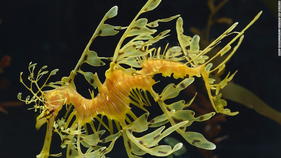 "The leafy sea dragons won't be at the <a href=""http://www.montereybayaquarium.org/vi/tickets.aspx?c=tn&gclid=CIO_6fyAw7gCFSUV7Aod7nAA-g"" target=""_blank"">Monterey Bay Aquarium</a> in Monterey, California, for long. They're part of ""The Secret Lives of Seahorses"" exhibition, which closes after Labor Day. Cousins to seahorses, leafy sea dragons live off South and Western Australia's rocky reefs. Their appearance helps them blend in with sea plant life."