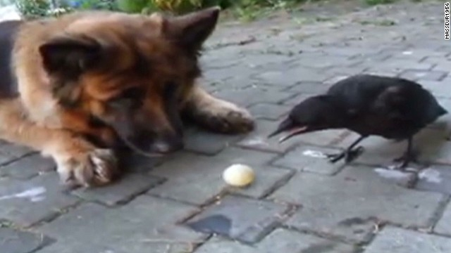 orig distraction dog and crow play ball_00001625.jpg