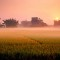 kaiping diaolou-rice fields