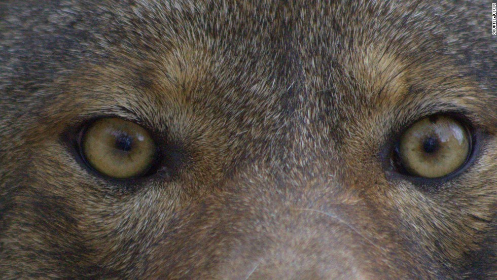 Red wolves have been on the endangered species since 1967, and Eastern North Carolina is the only place you can hear their howls.