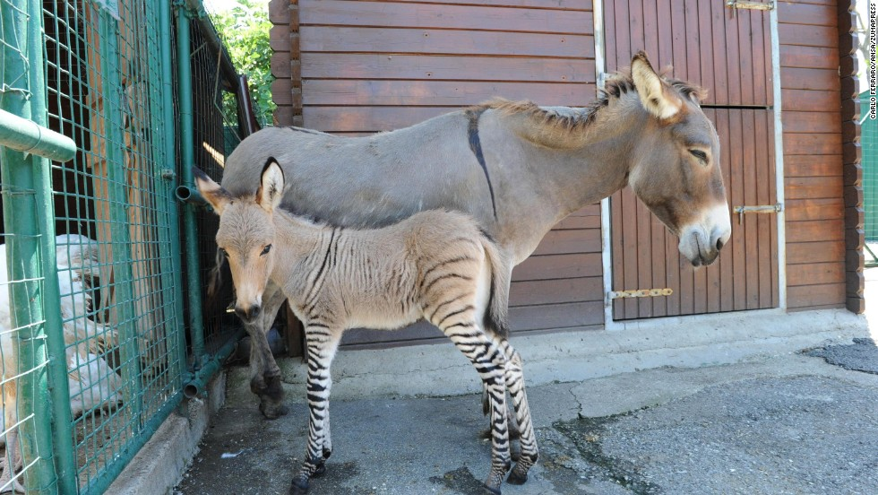 "Ippo, a rare product of a female donkey and a male zebra, or<a href=""http://www.cnn.com/2010/US/09/23/what.is.zedonk/index.html""> ""zonkey</a>,"" born in Florence, Italy, on Tuesday, July 23. Sometimes called zedonks or zebroids, the zonkey could live well into its 20s but will be unable to reproduce."