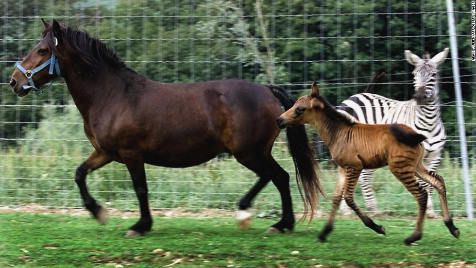 "The colt ""zorse"" N'Soko frolics with its mother, Victoria the mare, and father, Zebulon the zebra, in the private animal park of a farm in Cuchery, France, on August 22, 2003. N'Soko is the brother of the first zorse born in Europe 13 months earlier. ""Two natural births from the crossing of the same parents is, to my knowledge, a world first,"" commented park owner Jean-Jacques Lefevre."