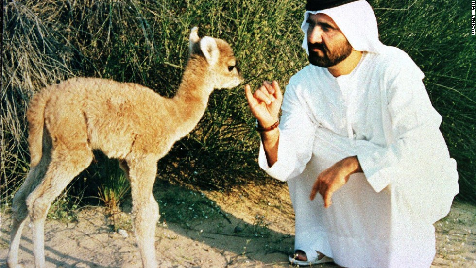 United Arab Emirates Defense Minister and Dubai Prince Sheikh Mohammed bin Rashid Al Maktoum plays with the first cross-breeding between a camel and a llama on January 19, 1998. The male baby's features are about 60% those of a camel.