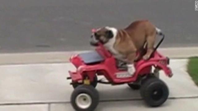 orig distraction english bulldog goes for a drive_00002502.jpg