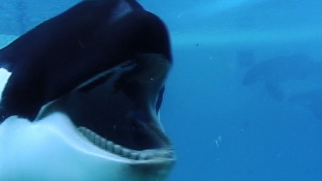 Do killer whales belong in captivity?