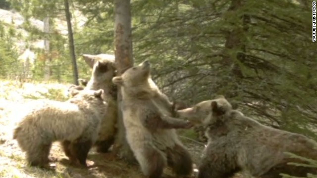 newday bears scratch backs on tree_00004217.jpg