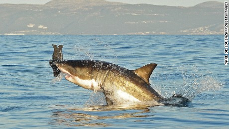 A great white shark jumps out of the water as it bites a fake decoy seal.