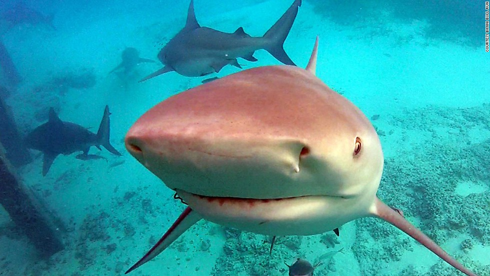 Marine parks in the Bahamas have shark-friendly habitats. Around 40 types of sharks can be seen here.