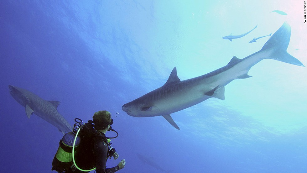 During high season, hammerheads and sand tiger sharks can be seen in schools of several hundred at Protea Banks.