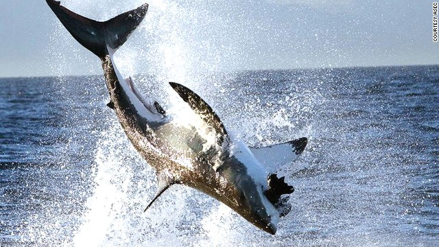 Sharks breach more at False Bay than anywhere else in the world.