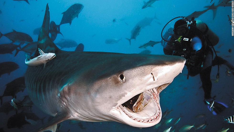 Divers will see at least seven shark species on each dive in the Pacific Harbor of Fiji, tour organizers claim.