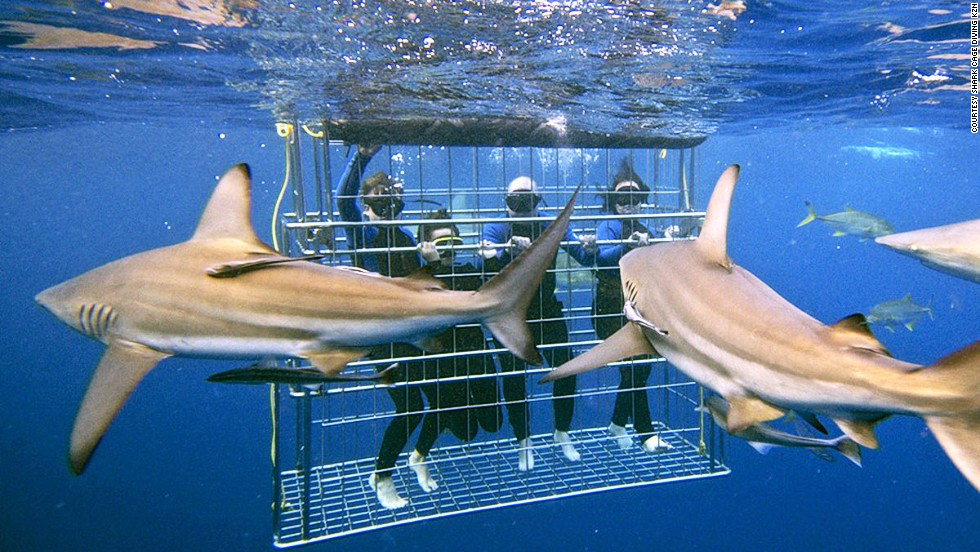 Nervy visitors can get close to reef sharks, ragged-tooth sharks and giant guitar sharks when cage diving in Kwazulu-Natal.