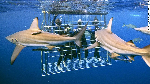 In South Africa, cage divers might be surrounded by 20 sharks at a time.