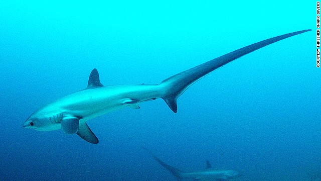 The tail of a Thresher shark can make up half its length.