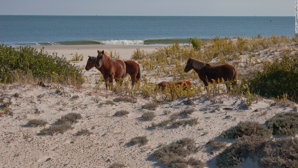 "<a href=""http://www.nps.gov/asis/naturescience/horses.htm"" target=""_blank"">Assateague Island National Seashore's</a> horses are feral, which means they used to be domesticated but have returned to a wild state. The national seashore is located in Maryland and Virginia, and each state has a herd of horses. The National Park Service manages the Maryland herd, shown here."