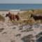 best coastal beaches assateague maryland1