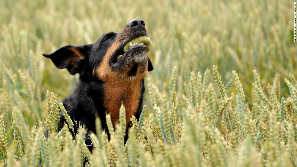 A Rottweiler caught tennis balls in Godewaersvelde,  France.