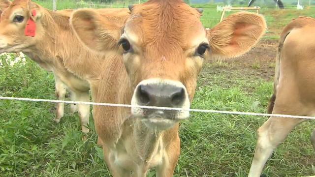 natpkg.orig.eatocracy.vermont.dairy.veal.letrent_00025608.jpg