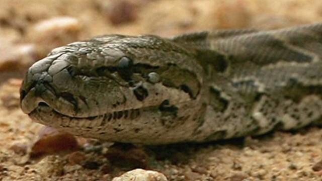 Python reportedly kills two young boys