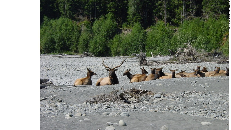 Herds of Roosevelt elk can be seen throughout the park's mountainous and forested areas.