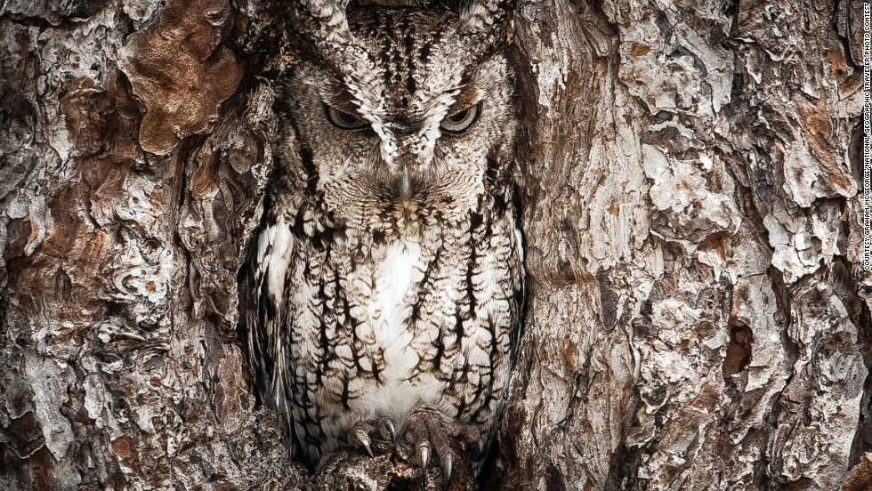 "<strong>Merit: Portrait of an Eastern Screech Owl</strong><br />Photo and caption by Graham McGeorge/<a href=""http://travel.nationalgeographic.com/travel/traveler-magazine/photo-contest/2013/"" target=""_blank"">National Geographic Traveler Photo Contest</a>.<br />Graham McGeorge says: ""Masters of disguise. The Eastern Screech Owl is seen here doing what they do best. You better have a sharp eye to spot these little birds of prey."""