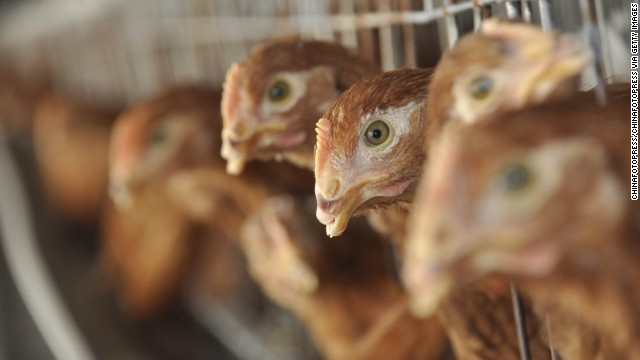 Chickens are seen at a poultry farm in China.