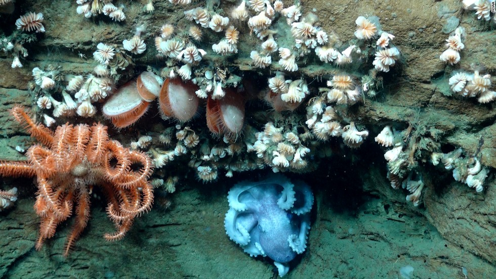 A basket star, an octopus, bivalves and dozens of cup coral share the same overhang. Many species of invertebrates live together on the steep canyon walls.