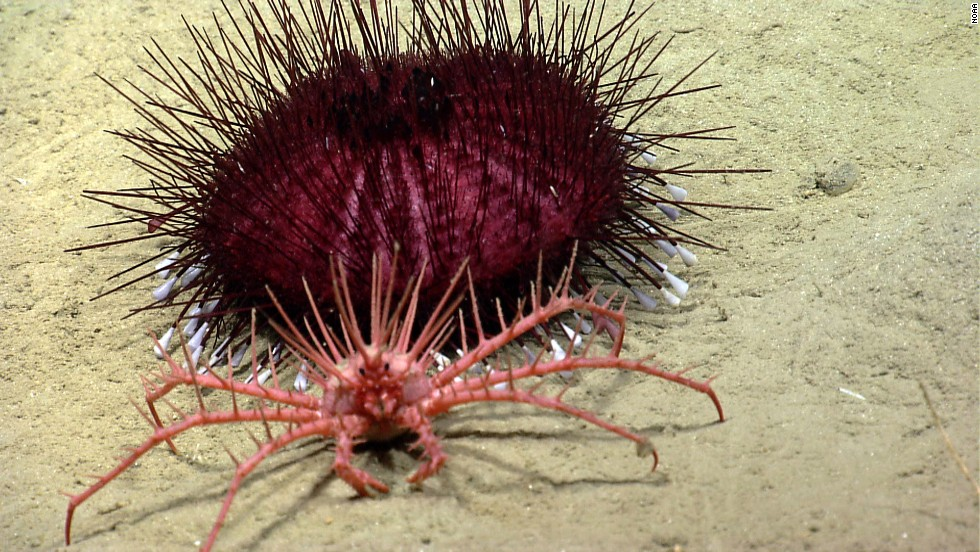 A king crab rests near a spiky sea urchin.