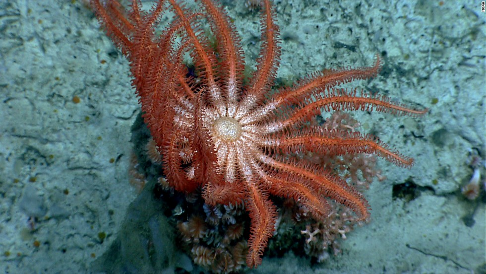 A brisingid sea star rests on a group of cup corals in Alvin Canyon.
