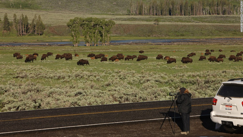 Rangers plead with with visitors to pull off the road to shoot pictures of bison (shown here in the Lamar Valley) or other wildlife that call Yellowstone home. Travelers have been known to stop their cars in the middle of the road to look at the view, or worse: look sideways to admire the nature while driving.