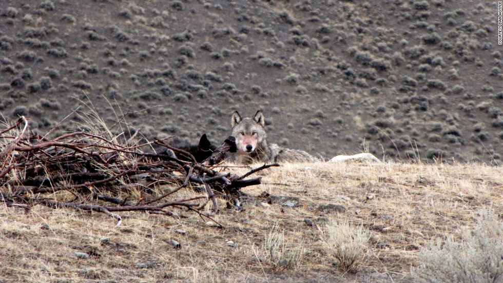 There's a good chance of spotting wolves on the drive to the Lamar Valley, Hottle says. He likes to stop at a pullout about halfway to the valley and hike into the woods, where he can sometimes see a wolf or its pack. (Hottle found this wolf in his backyard.)