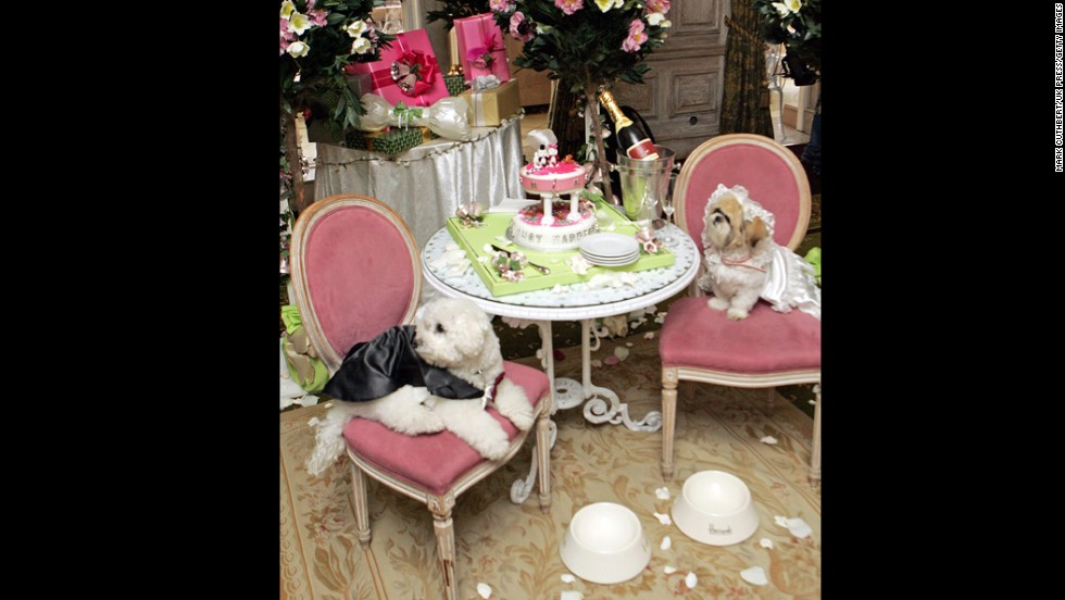 Muffin (a Shih Tzu) & Timmy (a Bichon Frise) pose for their wedding photo at a Harrods Store In London.