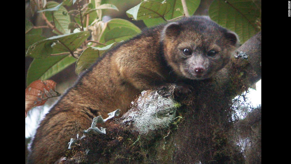 "The olinguito (Bassaricyon neblina) is the first mammalian carnivore species to be discovered in the Americas in 35 years, <a href=""http://www.cnn.com/2013/08/15/world/americas/new-mammal-smithsonian/index.html"" target=""_blank"">scientists at the Smithsonian Institution in Washington said</a>."
