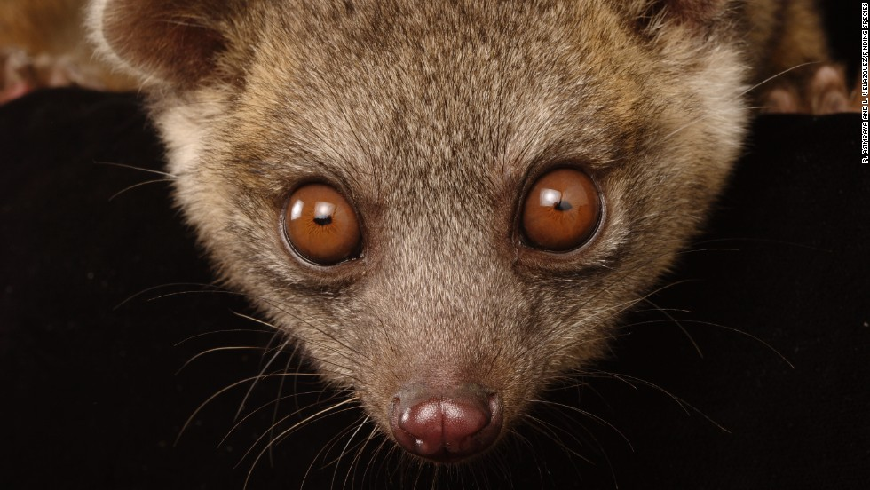 This Western lowland olingo (Bassaricyon medius) can be found in the same general geographic area as the olinguito.