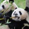 cutest animal 3 Giant panda