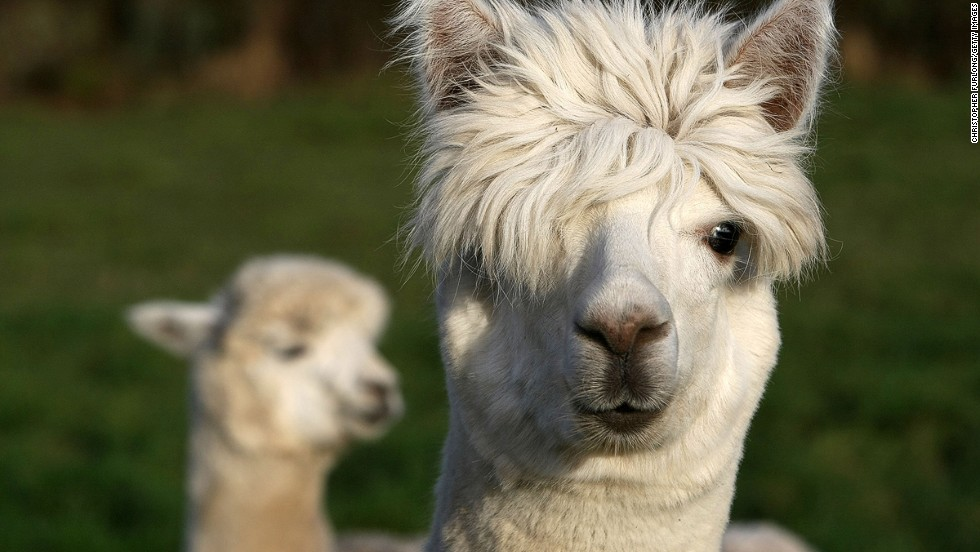 http://i2.cdn.turner.com/cnnnext/dam/assets/130819142048-cutest-animal-7-alpaca-horizontal-large-gallery.jpg
